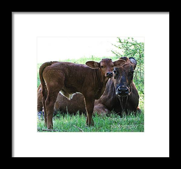 Cows Framed Print featuring the photograph Big Man In Town by Marjorie Smith