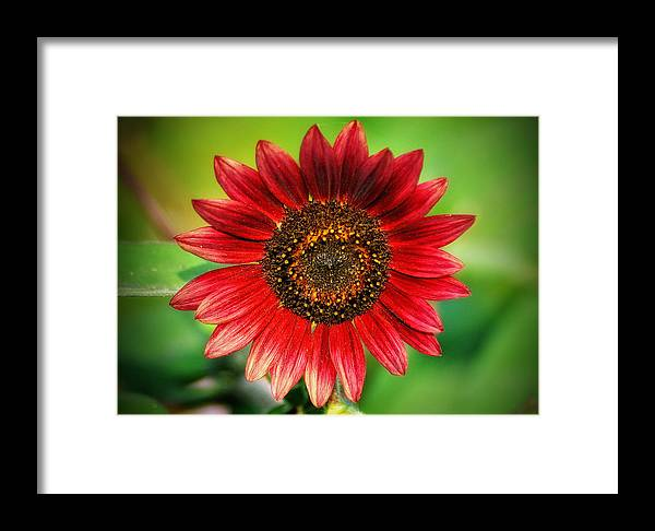 Sunflower Framed Print featuring the photograph Big Red by Bill Cannon