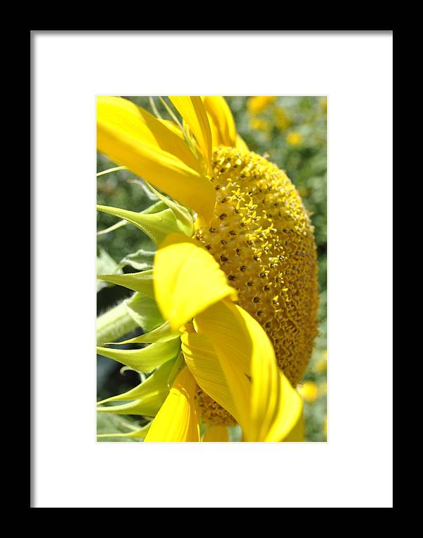 Big Yellow Sunflower Framed Print featuring the photograph Big Yellow Sunflower by Brigette Hollenbeck