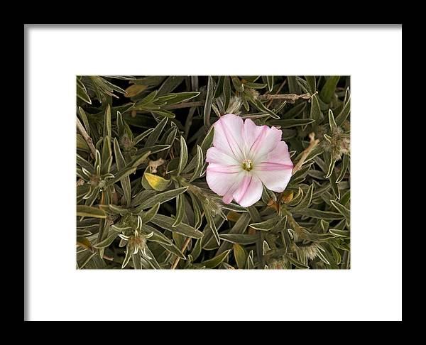 Convolvulus Oleifolius Framed Print featuring the photograph Bindweed (convolvulus Oleifolius) by Bob Gibbons
