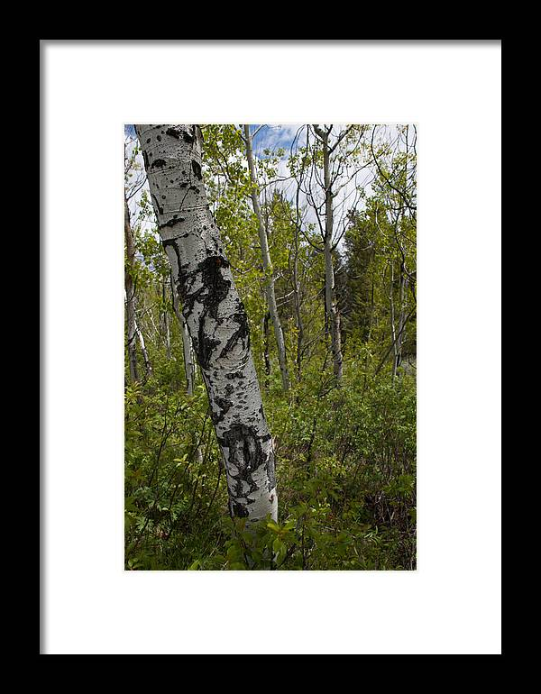 Trees Framed Print featuring the photograph Birch Trees by Paul M Littman