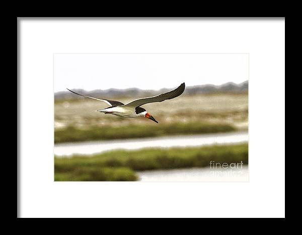 Bird In Flight Framed Print featuring the photograph Bird In Flight by Edward Lee