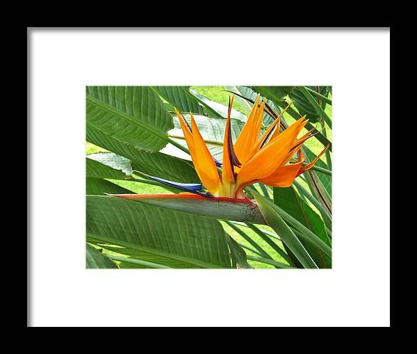Bird Of Paradise Framed Print featuring the photograph Bird Of Paradise by Craig Wood