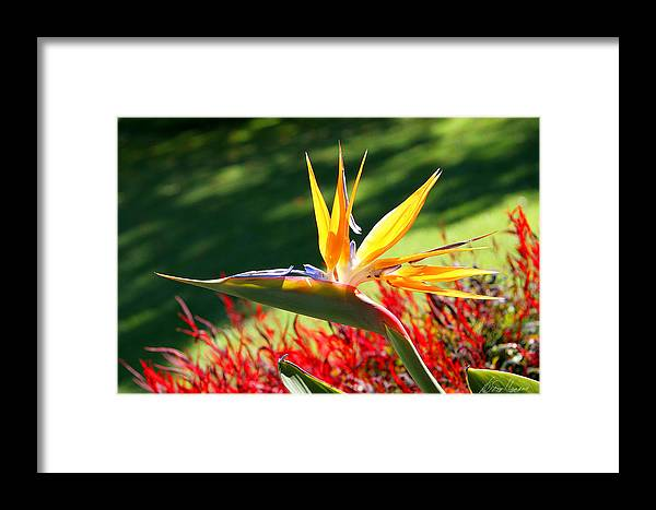 Flower Framed Print featuring the photograph Bird Of Paradise by Diana Haronis