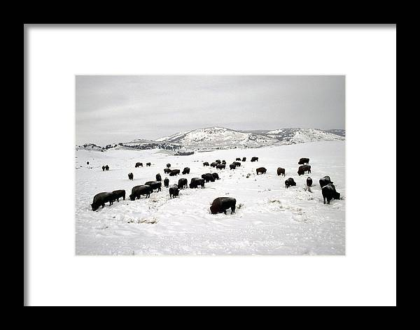 Nobody Framed Print featuring the photograph Bison Paw Away Snow With Head by Michael S. Quinton