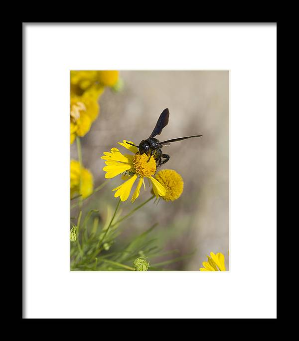 Bitterweed Framed Print featuring the photograph Bitterweed And Black Wasp by Kathy Clark