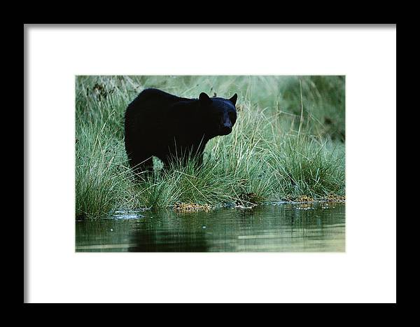 North America Framed Print featuring the photograph Black Bear Ursus Americanus by Raymond Gehman