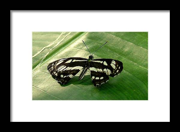 Black Butterfly Framed Print featuring the photograph Black Beauty by Don Downer
