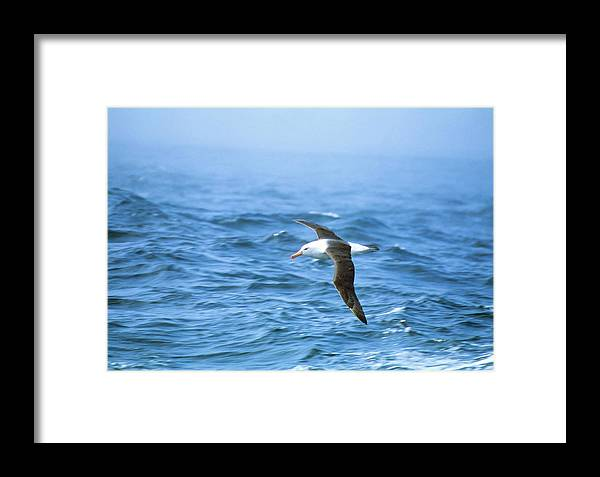 Albatross Framed Print featuring the photograph Black-browed Albatross by Peter Scoones