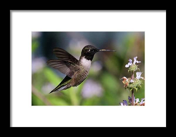 Black Chinned Hummingbird Prints Framed Print featuring the photograph Black Chinned Hummingbird by Paul Marto