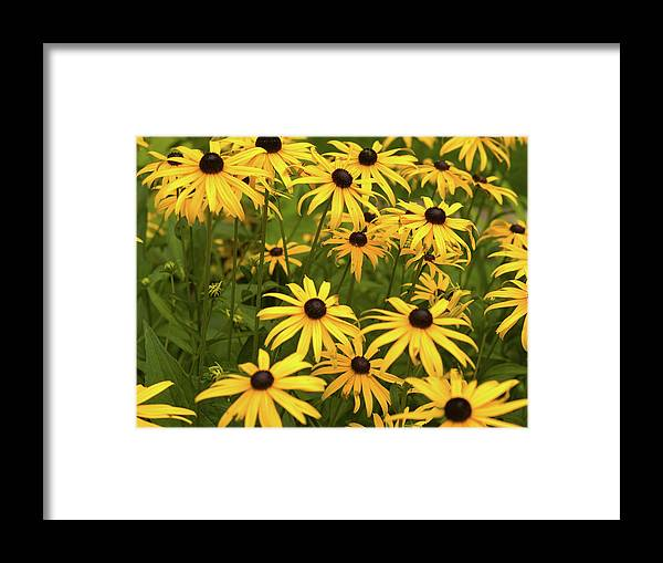 Black-eyed Susans Framed Print featuring the photograph Black-eyed Susans by Stanley French