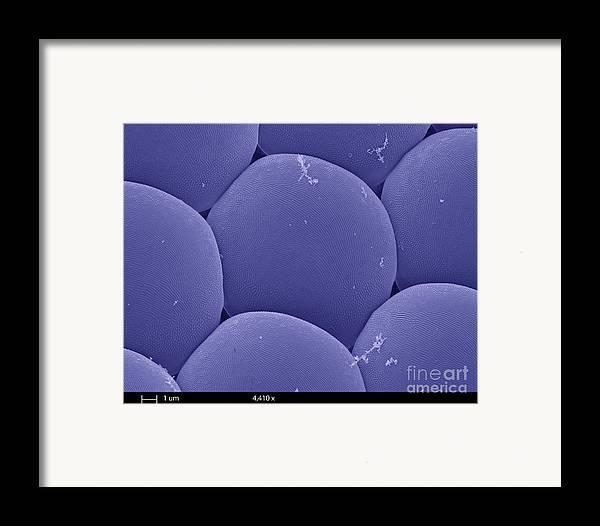 Sem Framed Print featuring the photograph Black Fly Eye, Sem by Ted Kinsman