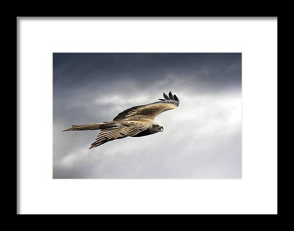 Milvus Migrans Framed Print featuring the photograph Black Kite In Flight by Linda Wright