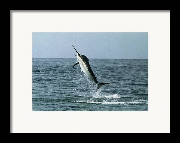 Black Marlin Framed Print featuring the photograph Black Marlin by Georgette Douwma