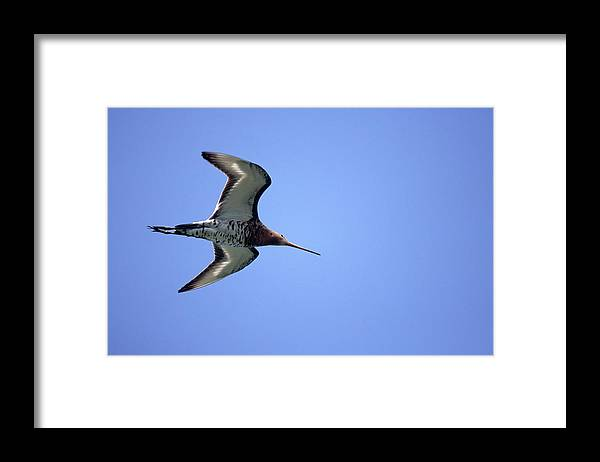 Fn Framed Print featuring the photograph Black-tailed Godwit Limosa Limosa by Jan Sleurink