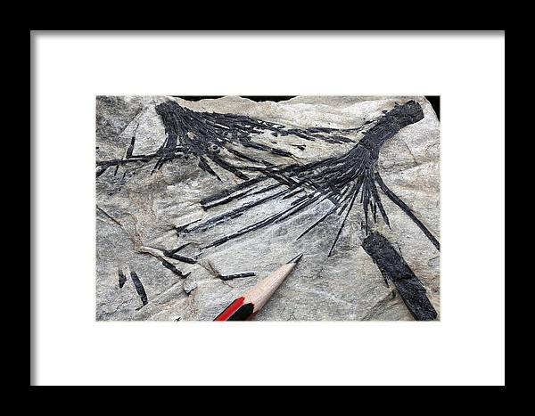 Mineral Framed Print featuring the photograph Black Tourmaline In Mica Schist by Dirk Wiersma