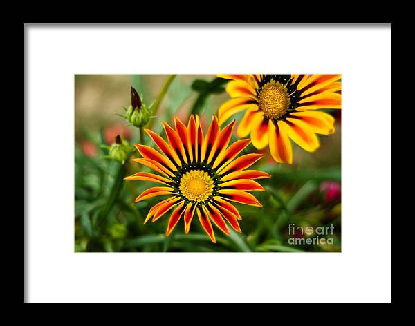 Flower Framed Print featuring the photograph Blooming Beauty by Syed Aqueel