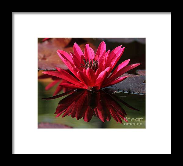 Nature Framed Print featuring the photograph Blooming Red Lilly by Elizabeth Chevalier