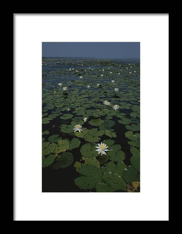 Plants Framed Print featuring the photograph Blooming Water Lilies Fill A Body by Bates Littlehales