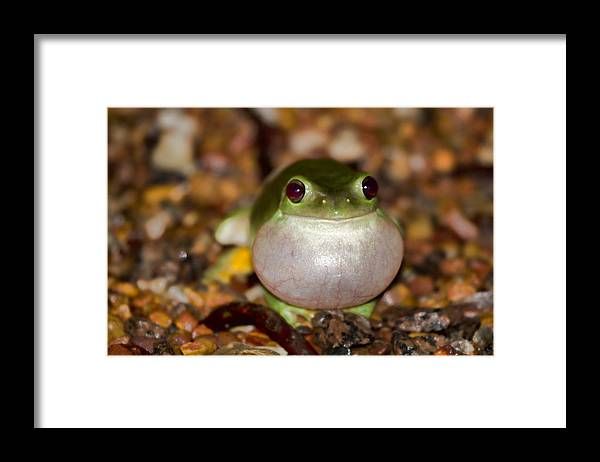 Green Tree Frog Framed Print featuring the photograph Blown Up by Douglas Barnard