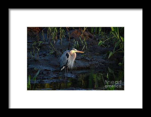Blue Heron Framed Print featuring the photograph Blue At Sunrise by Kathy Gibbons