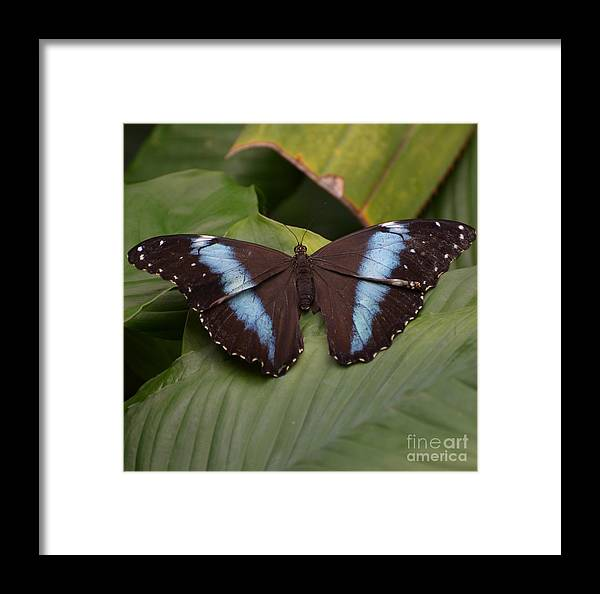 Butterfly Framed Print featuring the photograph Blue Banded Morpho by Paulina Roybal
