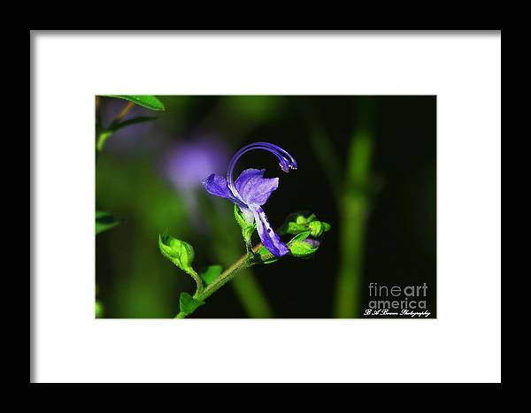Blue Curls Wildflower Framed Print featuring the photograph Blue Curls by Barbara Bowen