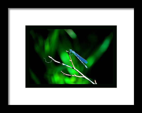 Blue Damsel Fly Framed Print featuring the photograph Blue Damsel by Susanne Still