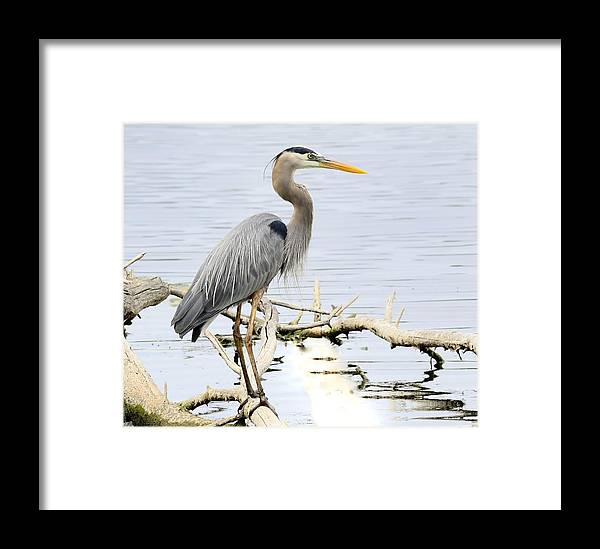 Bird Framed Print featuring the photograph Blue Heron 2 by Richard Oliver