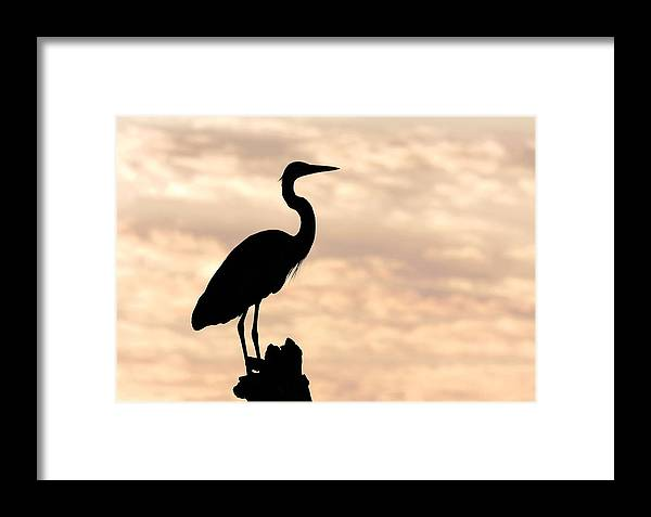 Bird Framed Print featuring the photograph Blue Heron Silhouette by Rudy Umans