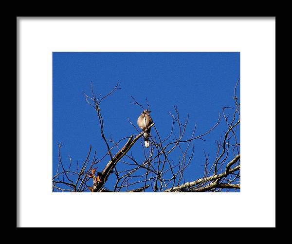 Blue Jay Framed Print featuring the photograph Blue On Blue by Marc Mesa