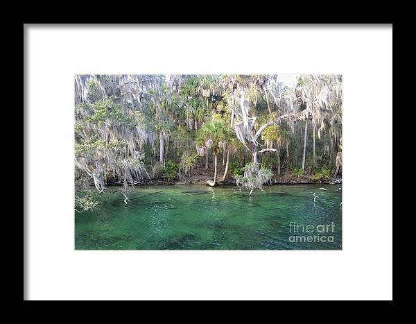 Blue Spring State Park Framed Print featuring the photograph Blue Spring State Park Florida by Gwen C
