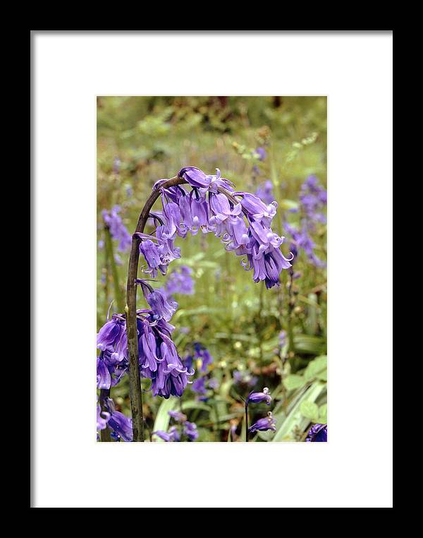 Hyacinthoides Non-scripta Framed Print featuring the photograph Bluebells (hyacinthoides Non-scripta) by Adrian T Sumner