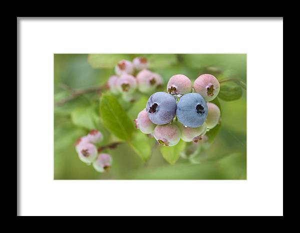 Vaccinium Sp. Framed Print featuring the photograph Blueberries (vaccinium Sp.) by Lawrence Lawry