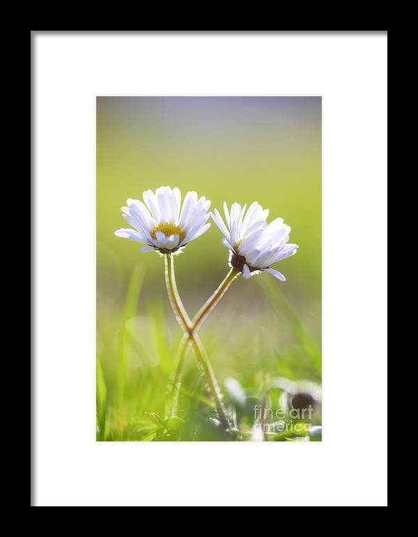 Gaenseblume Framed Print featuring the photograph Blumen Liebe by Tanja Riedel