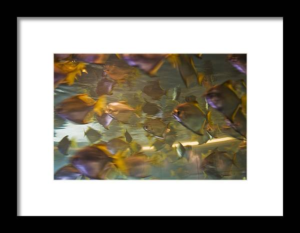 Fish Framed Print featuring the photograph Blurred Image Of Fish Swimming In An by Todd Gipstein