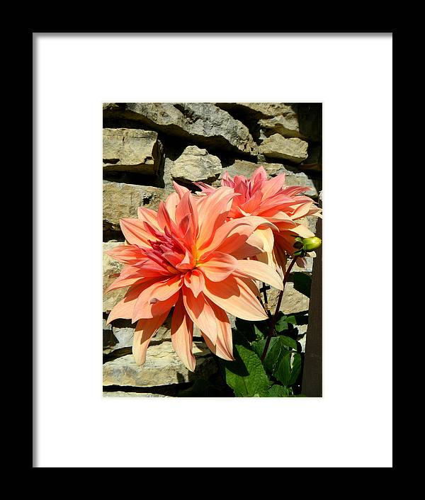 Landscapes Framed Print featuring the photograph Blushing Peach Dahlias by April Patterson