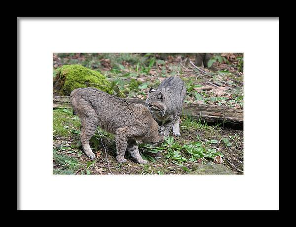Northwest Trek Framed Print featuring the photograph Bobcat - 0007 by S and S Photo