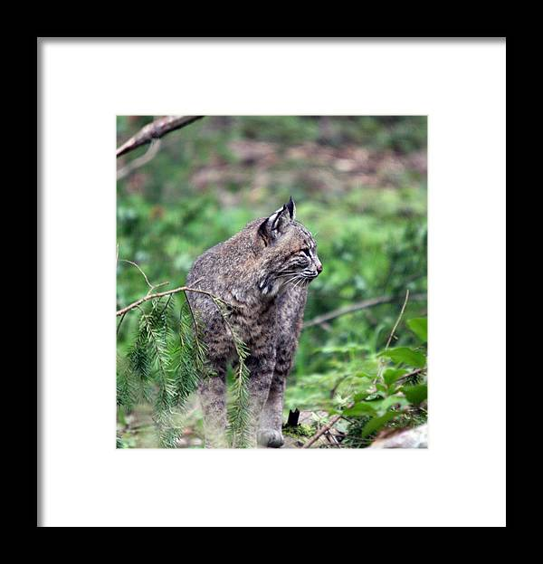 Northwest Trek Framed Print featuring the photograph Bobcat - 0027 by S and S Photo