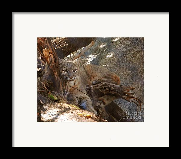 Bobcat Framed Print featuring the photograph Bobcat by DiDi Higginbotham
