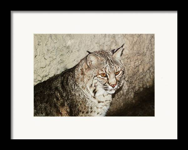 Bobcat Framed Print featuring the photograph Bobcat Iv by DiDi Higginbotham
