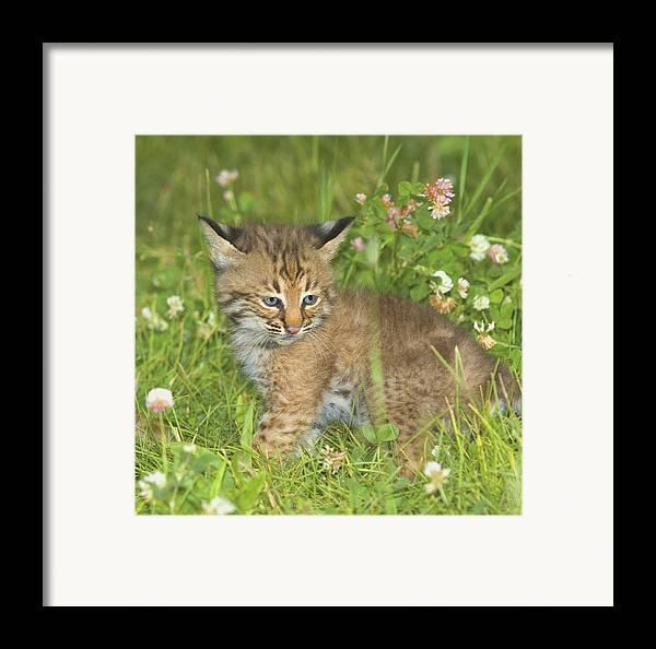 Outdoors Framed Print featuring the photograph Bobcat Kitten by John Pitcher