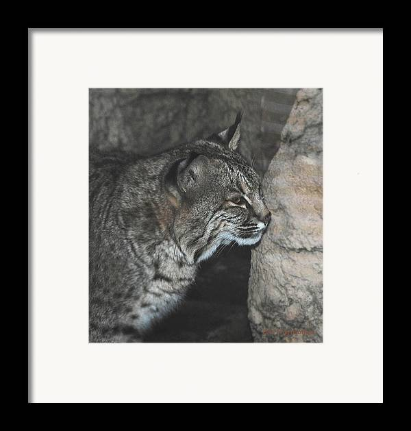 Bobcat Framed Print featuring the photograph Bobcat Love II by DiDi Higginbotham