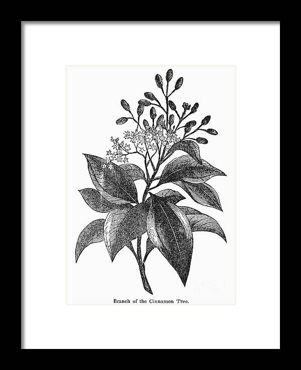 Biology Framed Print featuring the photograph Botany: Cinnamon Tree by Granger