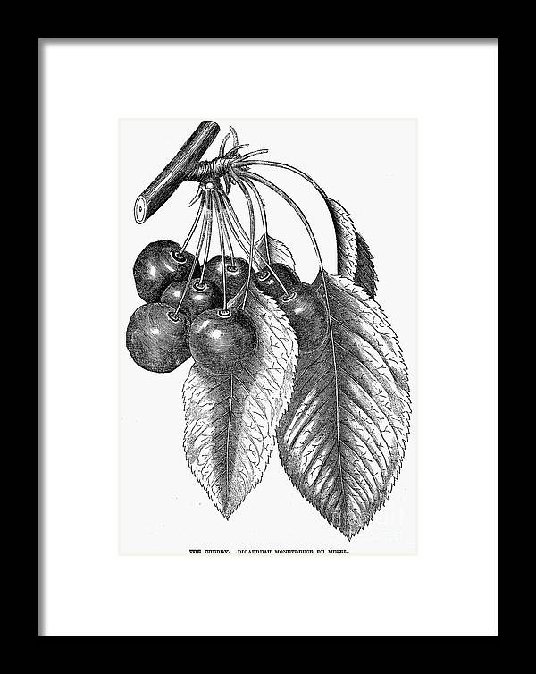 19th Century Framed Print featuring the photograph Botany: The Cherry by Granger