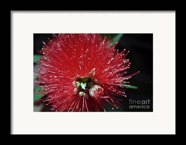 Bottle Brush Framed Print featuring the photograph Bottle Brush by Joanne Kocwin
