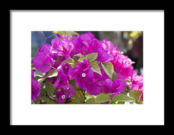 Bougainvillea Framed Print featuring the photograph Bougainvillea Flowers by Dirk Wiersma