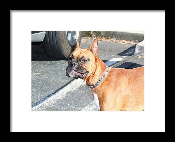 Dog Dogs Pet Pets Animal Animals Puppy Puppies Perro Boxer Boxers Boxeur Photography Framed Print featuring the photograph Boxer Dog by Ritmo Boxer Designs