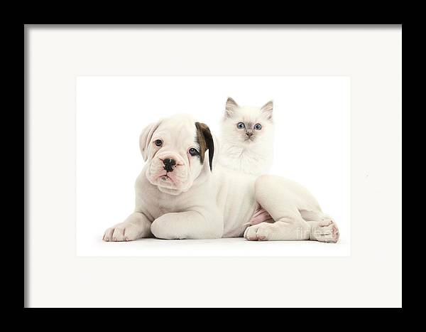 Nature Framed Print featuring the photograph Boxer Puppy And Blue-point Kitten by Mark Taylor