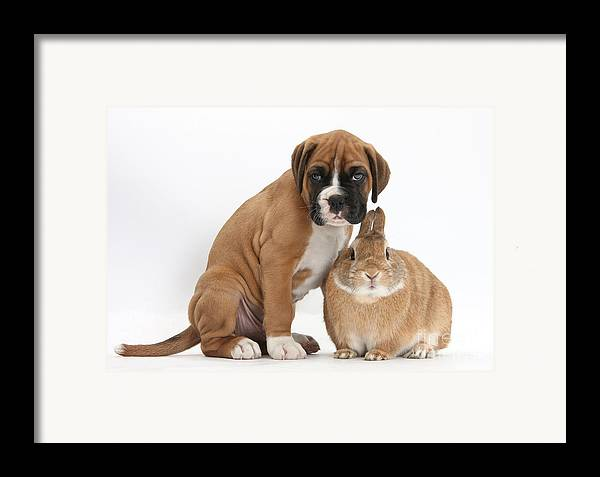 Nature Framed Print featuring the photograph Boxer Puppy And Netherland-cross Rabbit by Mark Taylor